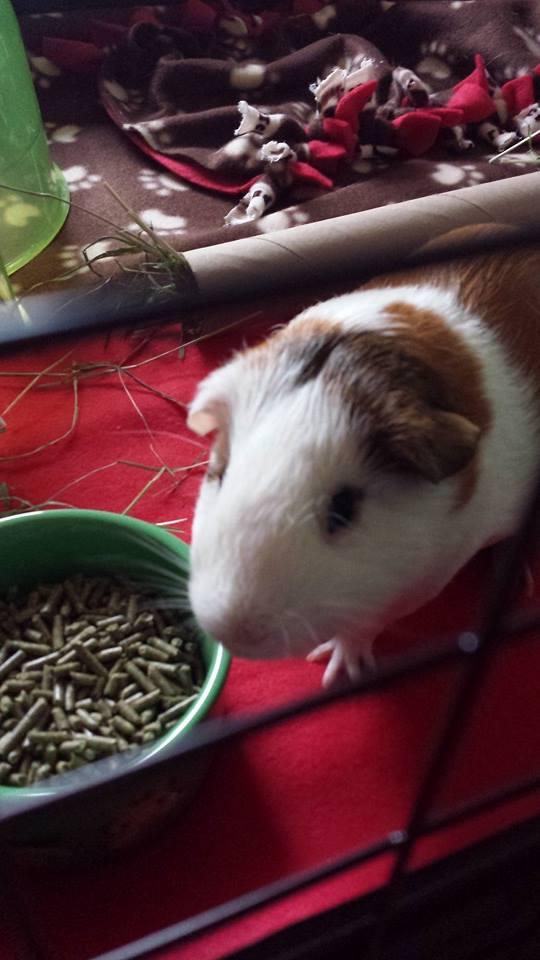 Sammie, American short hair Guinea pig.