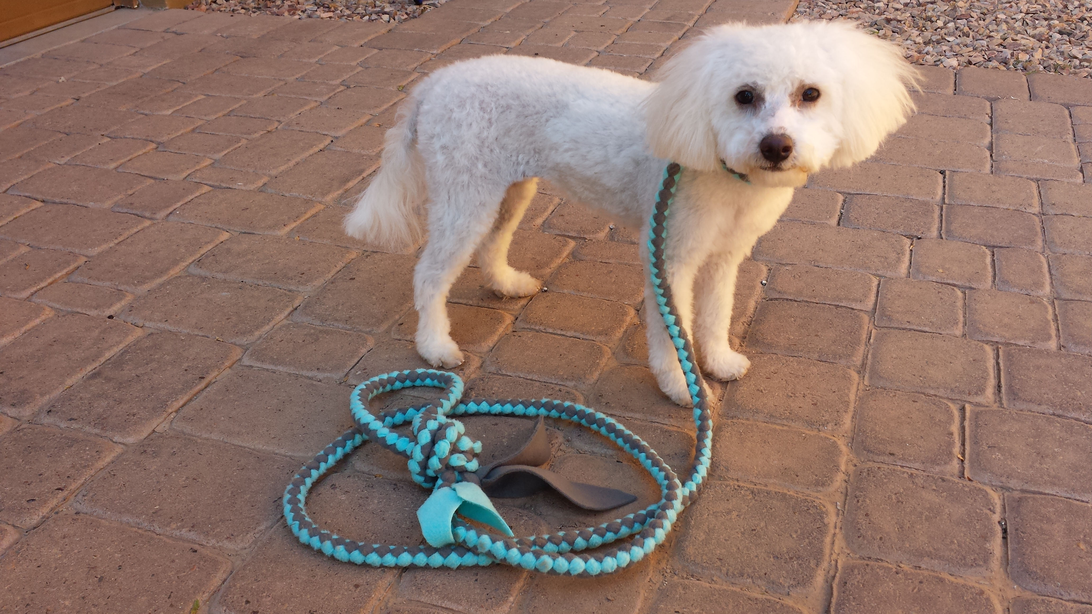 Khloee looking fancy with her leash from Action K9 Apparel!