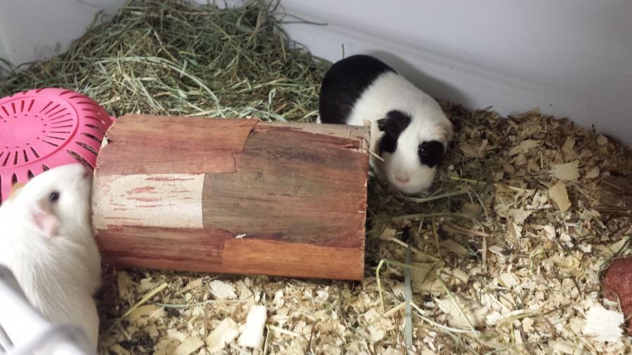 AZ Piggie Poo Rescue