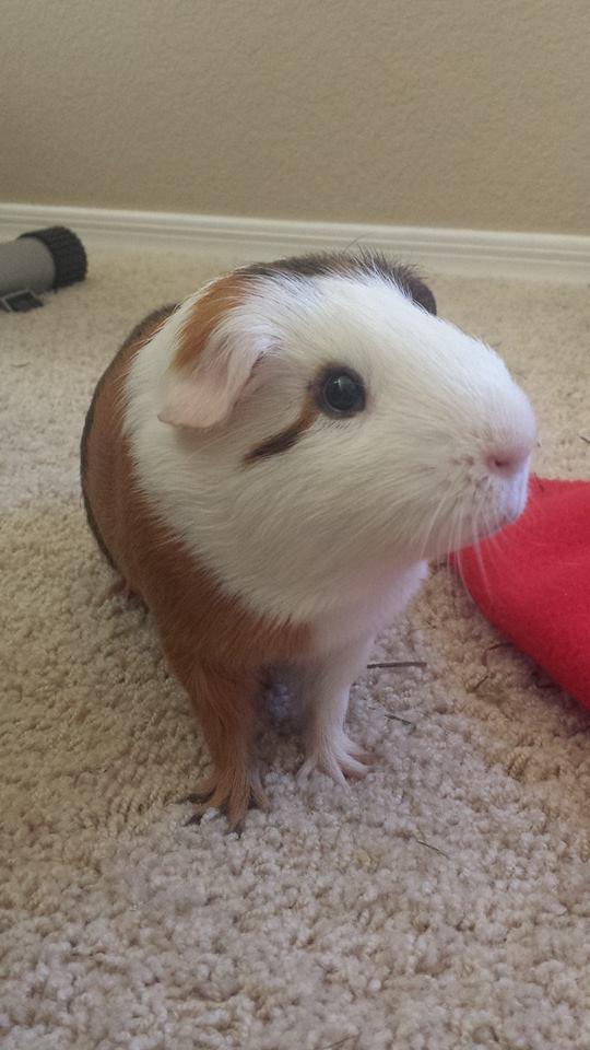 Guinea pig Sammie