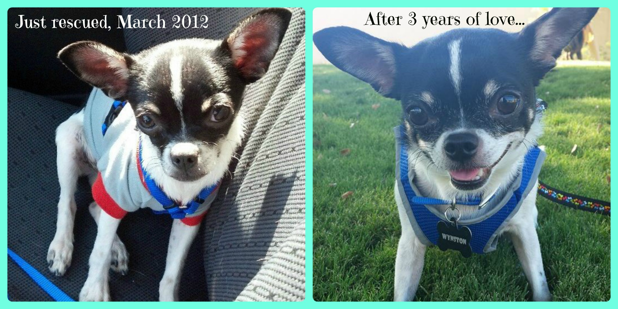 Left: a few weeks after rescuing Wynston from the puppy mill. Right: after years of love!