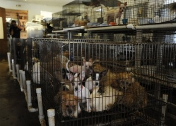 Puppy mill dogs rescued in 2009, courtesy of the Austin Chronicle.