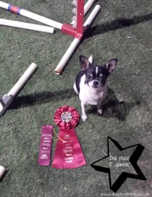 Chihuahua agility