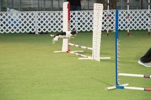 agility chihuahua