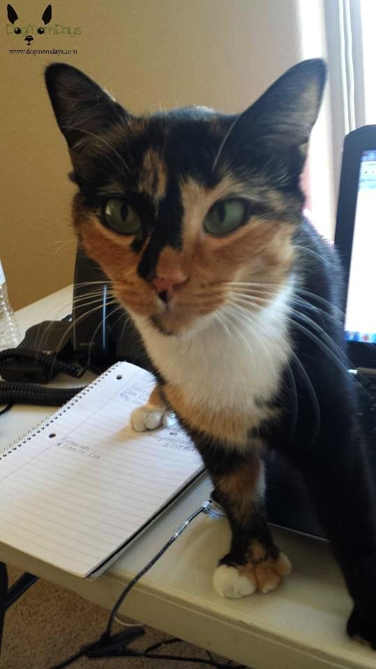 polydactyl calico cat