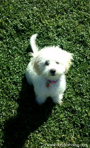maltipoo in grass