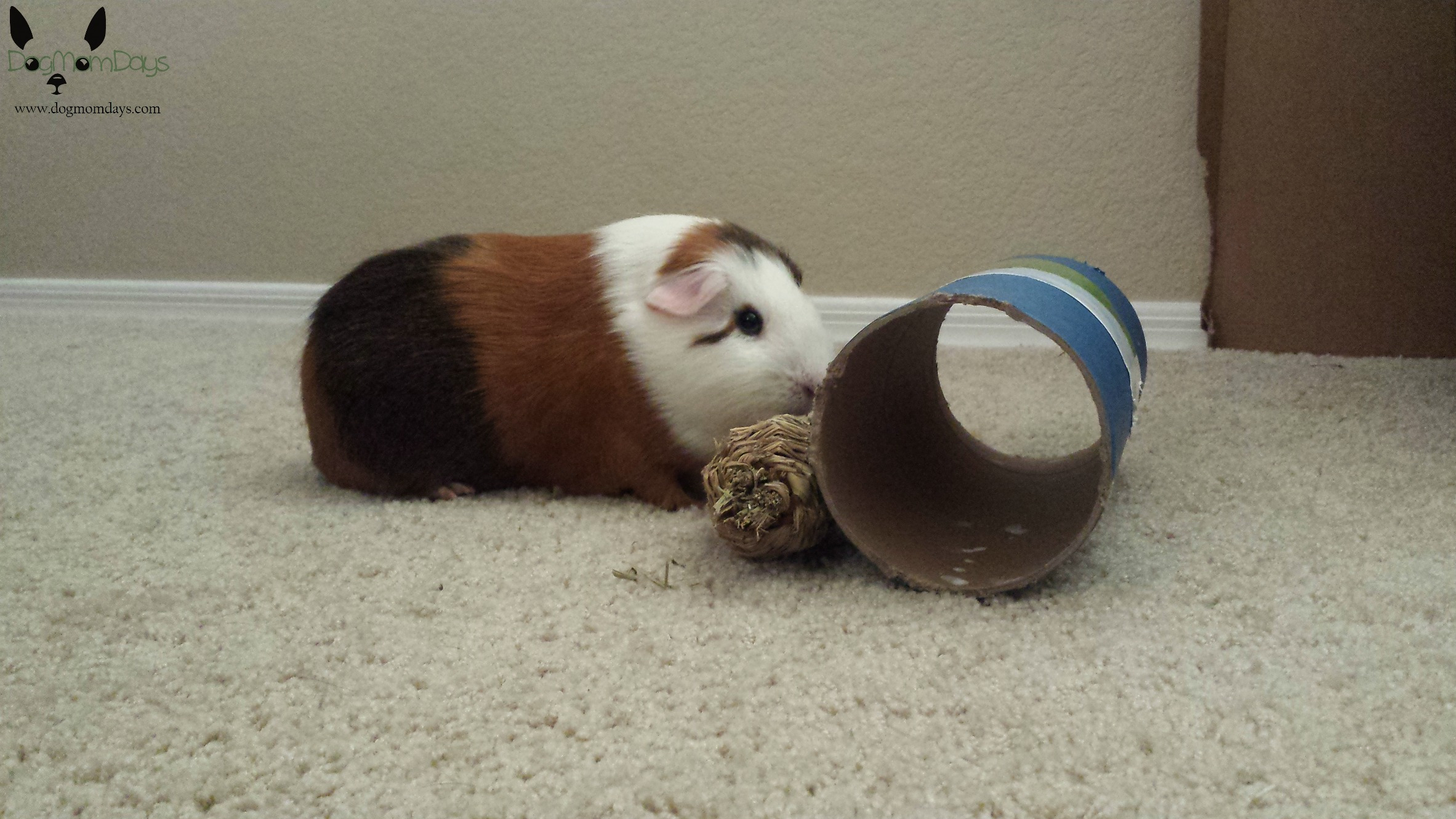 Guinea pig floor time