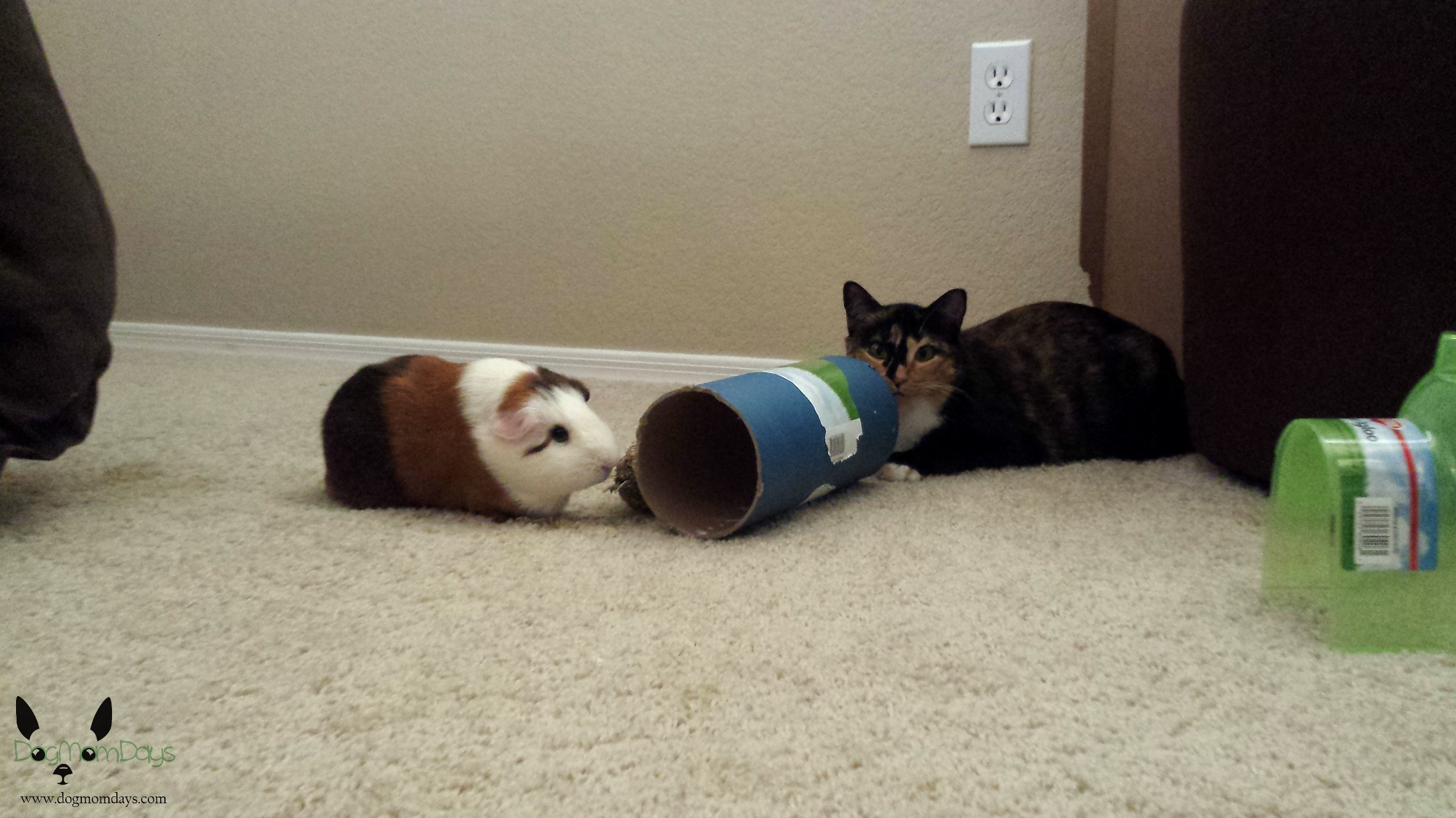 Guinea pig and cat