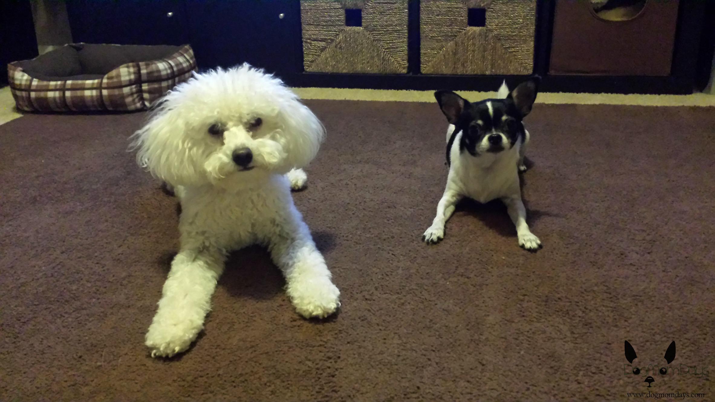 Chihuahua and maltipoo