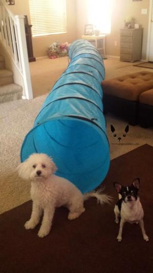 Chihuahua agility tunnel