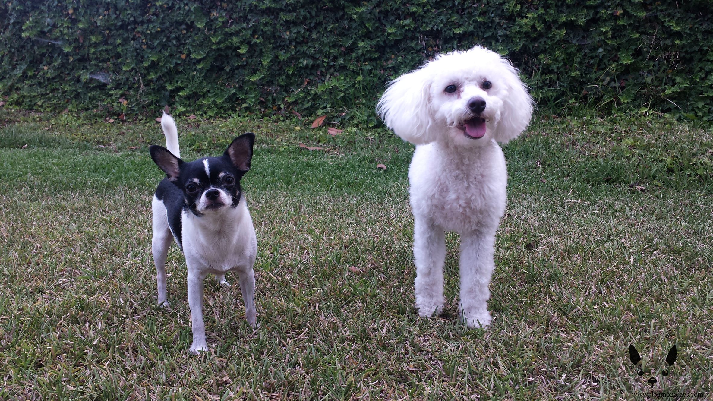 maltipoo and chihuahua