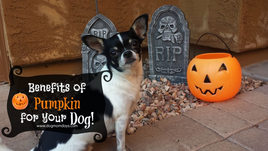 The benefits of pumpkin for your dog