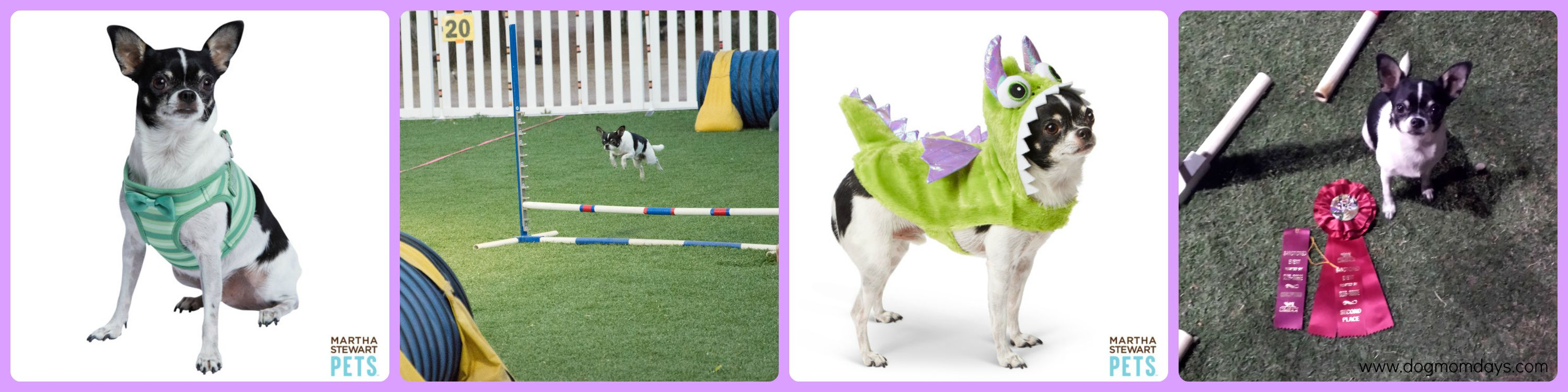 Chihuahua modeling and agility