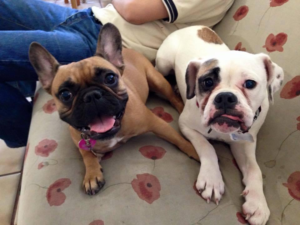 French Bulldog and American bulldog