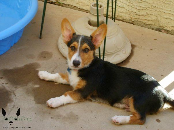 My first dog - a Corgi named Merlyn.