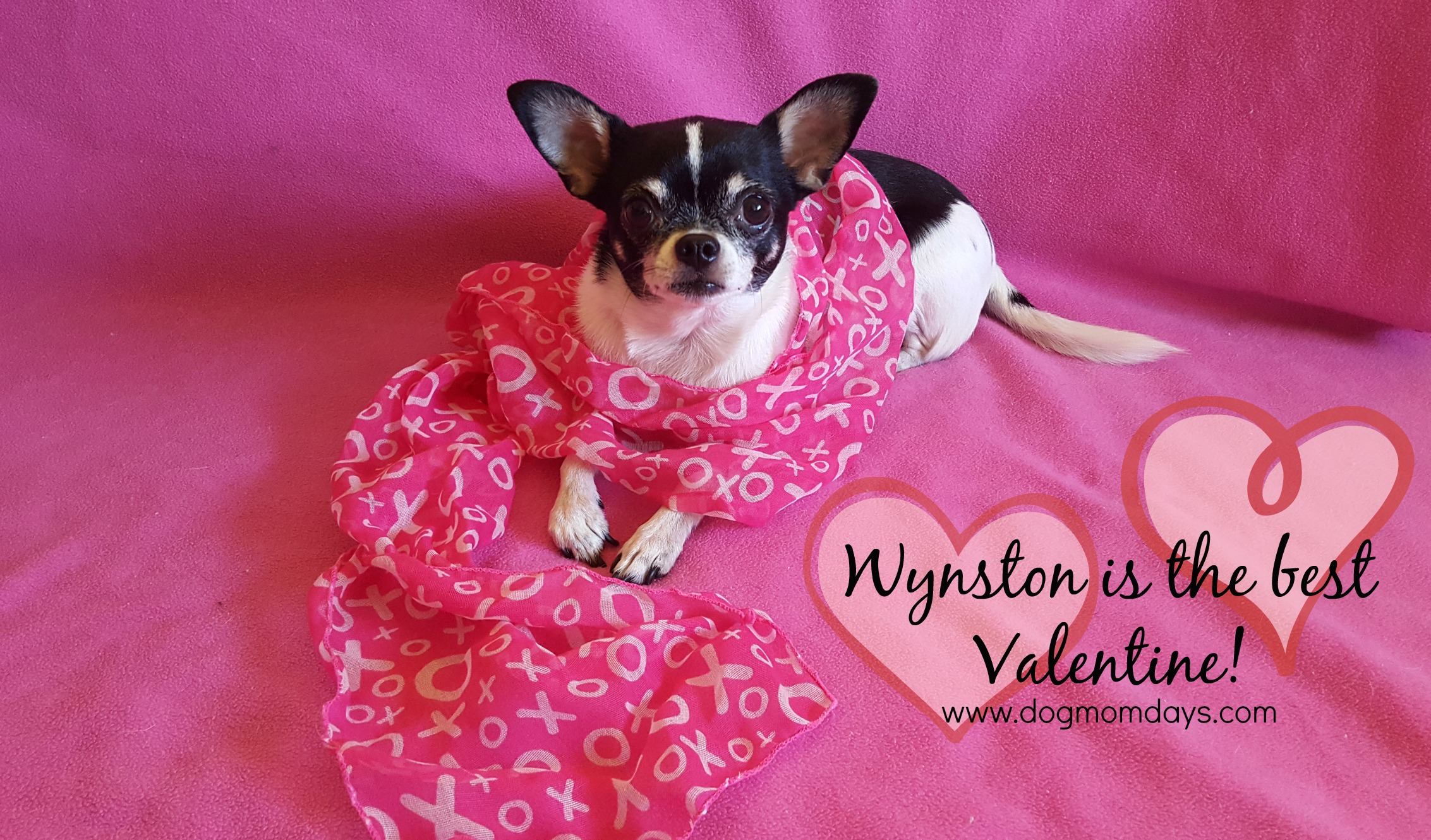 Chihuahua Valentine's Day