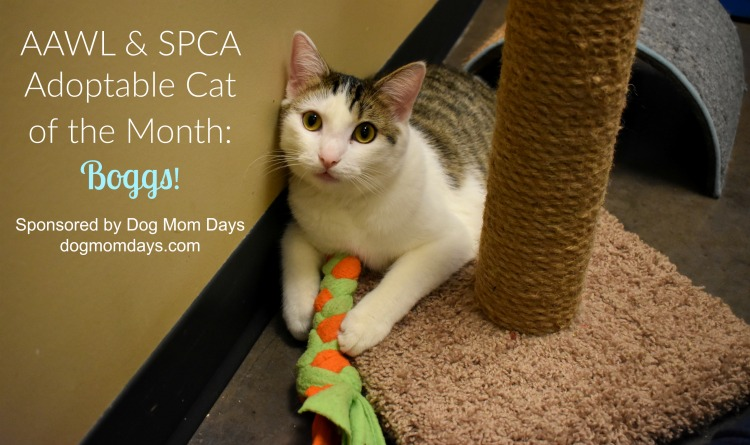 Meet Boggs: Our AAWL & SPCA Adoptable Cat of the Month!