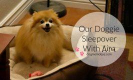 doggie sleepover with a Pomeranian