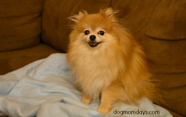 Purebred tan Pomeranian