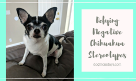 defying negative Chihuahua stereotypes