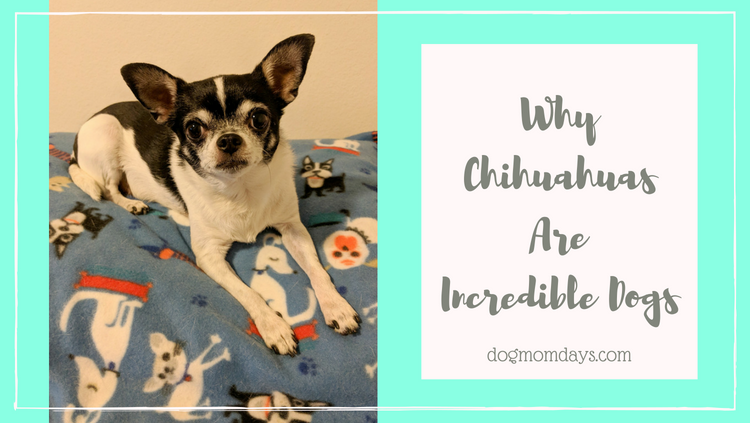 why Chihuahuas are incredible dogs