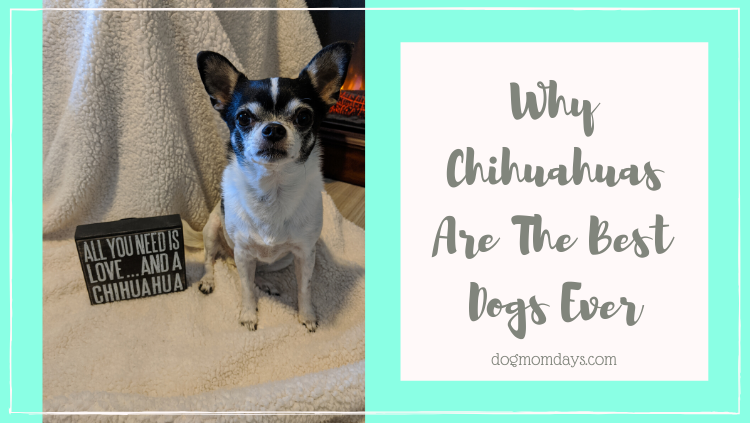 Chihuahuas are the best dogs ever